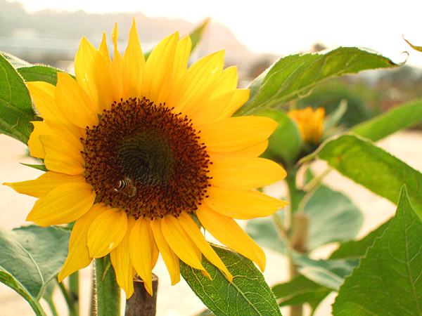 线上赏花海 向日葵黄色花田